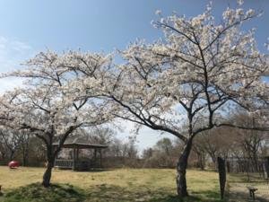 長者原㊦桜.png