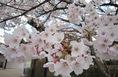 桜1IMG_6918.jpg