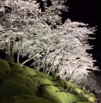 桜観音山png.png